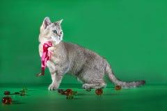 与一条红色丝带的纯血统猫在他的站立在绿色背景的脖子 图库摄影