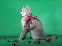 与一条红色丝带的纯血统猫在脖子上坐绿色背景 免版税库存图片