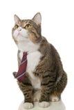 与一条红色领带的灰色猫 免版税库存图片