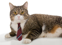 与一条红色领带的灰色猫 库存照片