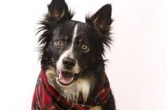 与一条红色围巾的博德牧羊犬 免版税库存图片