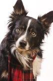 与一条红色围巾的博德牧羊犬 库存图片