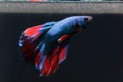 与一条美丽的红色尾巴的一条蓝色尖酸的鱼在黑背景 图库摄影