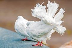 与一条美丽的豪华的尾巴的白色装饰鸽子 库存照片
