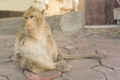 与一条胳膊泰国的猴子 免版税库存图片