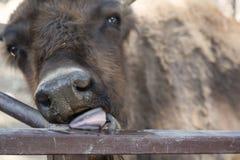 与一条舌头的一个北美野牛在动物园 库存照片