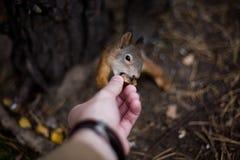 与一条蓬松尾巴的一只野生无所畏惧的灰鼠采取榛子机智 免版税库存图片