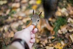 与一条蓬松尾巴的一只野生无所畏惧的灰鼠采取榛子机智 免版税图库摄影