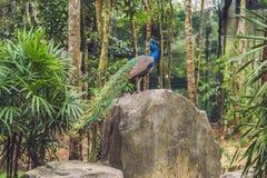 与一条被折叠的尾巴的孔雀在一个热带公园 免版税图库摄影