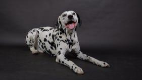 与一条达尔马希亚狗的演播室射击 免版税库存照片