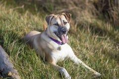 与一条长舌的逗人喜爱的狗在草 库存图片