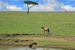 与一条鬣狗的非洲大草原在前景 图库摄影