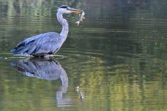 与一条鱼的一只苍鹭在他们的在装饰池塘,南安普敦的额嘴共同性 库存图片