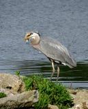 与一条鱼的伟大蓝色的苍鹭的巢在它的嘴 免版税库存图片