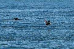 与一条鱼的装缨球海鹦飞行在它的在太平洋的额嘴 图库摄影