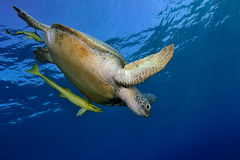 与一条更加干净的鱼的乌龟 免版税库存图片