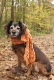 与一条围巾的等待的狗在森林里 库存照片