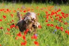 与一条绳索的有胡子的大牧羊犬在鸦片草甸 库存照片