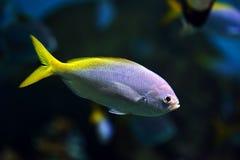 与一条黄色尾巴的鱼 免版税库存照片