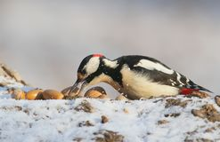 与一枚坚果的一只公伟大的被察觉的啄木鸟在额嘴坐日志 图库摄影