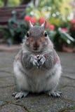 与一枚坚果的灰鼠在城市公园 免版税库存图片