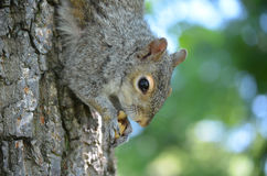 与一枚坚果的灰鼠在树 图库摄影