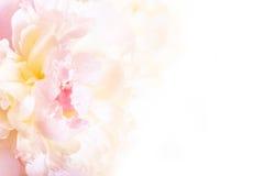 与一株开花的牡丹的精美瓣的华美的花卉背景 免版税库存图片