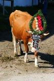 与一样头饰的奥地利母牛在期间牛在蒂罗尔,奥地利驾驶 免版税库存图片