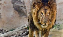 与一根充分的鬃毛的公狮子 库存图片
