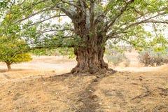 与一根印象深刻的树干的大老白扬树 库存图片