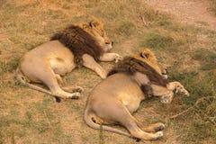 与一根厚实的棕色鬃毛的两头狮子在干草原休息并且睡觉 免版税库存照片