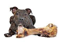与一根大骨头的美国斯塔福郡狗 免版税库存照片