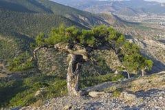 与一根异想天开地被扭转的树干的寡妇杉木 库存照片