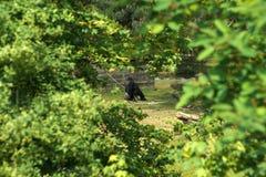 与一根枝杈的孤独的大猩猩在他的嘴 免版税库存图片