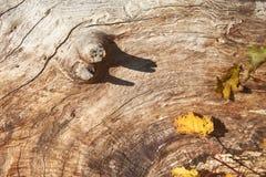 与一根枝杈的老树没有吠声 库存图片