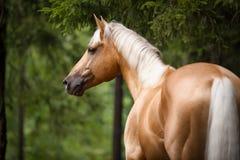 与一根白色鬃毛的巴洛米诺马马,画象在森林里 免版税库存图片