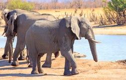 与一根短的树干的大象由于被捉住在圈套 库存照片