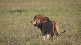 与一根美丽的鬃毛的成人非洲狮子在大草原野生生物 股票视频