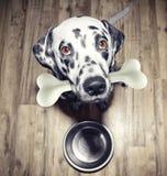 与一根鲜美骨头的逗人喜爱的达尔马希亚狗在他的嘴 免版税库存图片