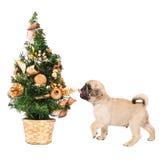 与一棵小的圣诞树的哈巴狗小狗 免版税库存照片