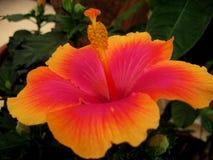与一棵明亮的木槿的宏观照片开花与橙色和绯红色颜色树荫的瓣在绿色叶子背景的  图库摄影