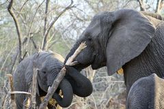 与一棵树的大象在他们的嘴 免版税库存照片