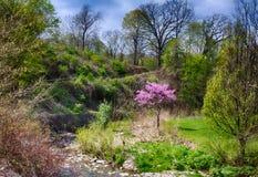与一棵桃红色红色芽树的田园诗公园场面在一个大绿园领域 库存照片