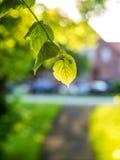 与一棵椴树的叶子的一根树干在后面光的 库存照片