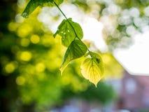 与一棵椴树的叶子的一根树干在后面光的 库存图片