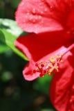 与一棵红色木槿的背景开花特写镜头和一个地方t的 免版税库存图片