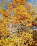 与一棵美国长叶松树的秋天 库存图片
