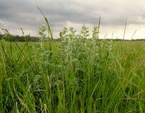 与一棵nekosheny草的领域在多云天气 免版税库存图片