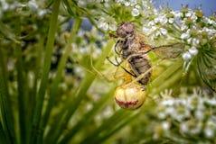 与一次新近地被捉住的飞行的梳子有脚的蜘蛛 库存照片