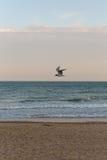 与一次飞行海鸟飞行的金黄日落光在海滩的天空与沙子在欧洲 图库摄影